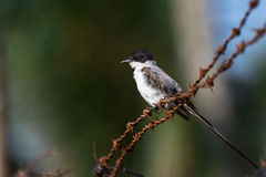 Fork-tailed Flycatcher Stock Photos