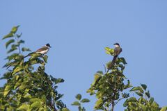 Fork-tailed flycatcher birds perched on a leafy branches