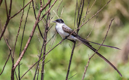 Fork-tailed flycatcher in Esteros del Ibera wetland Royalty Free Stock Images