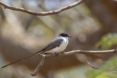 Fork-tailed Flycatcher Royalty Free Stock Image