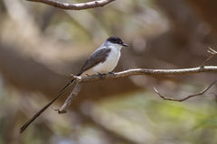 Fork-tailed Flycatcher Stock Image