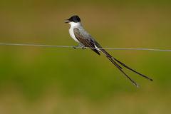 Fork-tailed Flycatcher, Tyrannus savana, black, gray and white bird with very long tail, Pantanal, Brazil Stock Photography