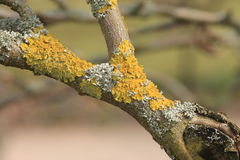 A Forked Branch Covered in Lichen Royalty Free Stock Photography