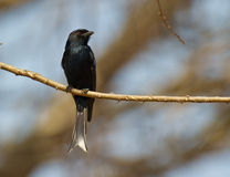 A Forked-tailed Drongo Royalty Free Stock Photo