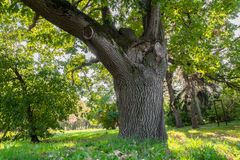 Forked trunk of an old oak in the yard of Moscow State University, Russia. Royalty Free Stock Image