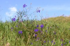 Forking Larkspur Royalty Free Stock Photography