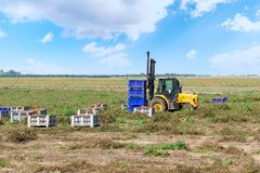Forklift loader loads plastic containers with tomatoes outdoor. Farmer on a tomato plantation. stock images