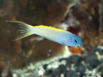 Forktail blenny. In Bohol sea, Phlippines Islands stock photo