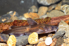 Forktail bullhead catfish Stock Photos