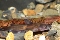Forktail bullhead catfish Stock Photo