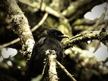 Forktailed Drongo 2 Royalty Free Stock Photo