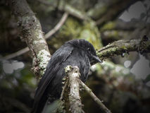 Forktailed Drongo 1 Royalty Free Stock Photography