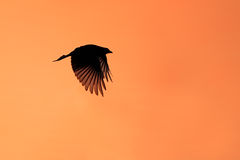 Forktailed drongo silhouette Stock Photo