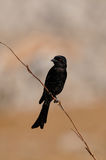 Forktailed drongo sit on a knot Stock Photos