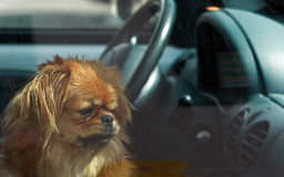 Forlorn. Dog left in the car Royalty Free Stock Photos