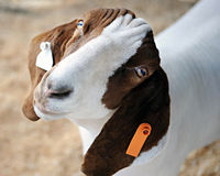 Forlorn Goat Stock Photos