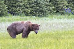 Forlorn Grizzly Bear Standing in Sedge Grass Royalty Free Stock Images