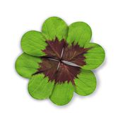 form för hjärta för växt av släkten Trifolium fyra leaved Arkivbilder