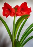Form Green Topped with Red. Planted Red Amaryllis flowers against white back drop Royalty Free Stock Photo