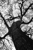 Form von Samanea-saman Bäumen und Muster der Niederlassung im Schwarzweiss-Ton Lizenzfreies Stockbild