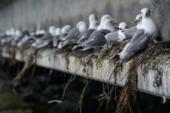 Formação da gaivota Imagens de Stock Royalty Free