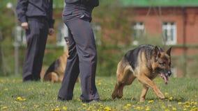 Formação de um cão-pastor do cão de polícia no gramado, treinamento do cão, criação de animais de cão vídeos de arquivo