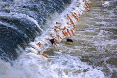 Formação do pelicano Foto de Stock Royalty Free