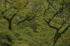 Forma agradável de árvores de bordo Fotografia de Stock Royalty Free