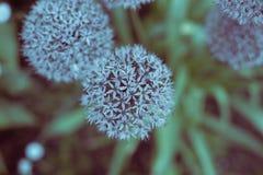 Forma azul da bola do dente-de-leão da cor imagens de stock