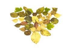 Forma caduta del cuore delle foglie isolata su fondo bianco Fotografia Stock