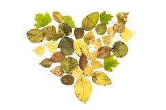 Forma caduta del cuore delle foglie isolata su fondo bianco Immagine Stock Libera da Diritti