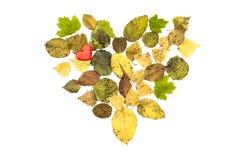 Forma caduta del cuore delle foglie isolata su fondo bianco Fotografie Stock Libere da Diritti