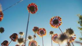 Forma de vida anaranjada de las flores de las flores del flor contra la opinión de la naturaleza del cielo azul de debajo almacen de metraje de vídeo