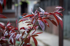 Forma decorativa di pesca con le foglie di rosso di barbabietola Fotografie Stock Libere da Diritti