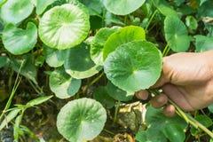 Forma del corazón de Pennywort asiático verde Centella asiatica, healt Imagen de archivo libre de regalías