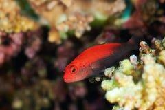 Forma di rosso di hawkfish di Blackside fotografia stock libera da diritti