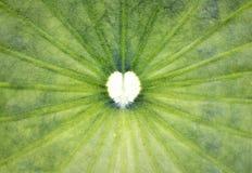 Forma do coração na folha dos lótus Fotos de Stock