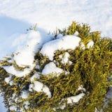 Forma enana ornamental del arbusto del Thuja occidental y de x28; Occi del Thuja imagen de archivo