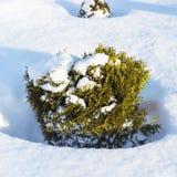 Forma enana ornamental del arbusto del Thuja occidental y de x28; Occi del Thuja imágenes de archivo libres de regalías
