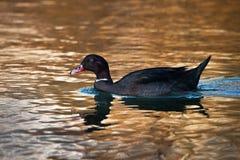 Forma híbrida de una natación del pato en un lago en la puesta del sol fotos de archivo libres de regalías