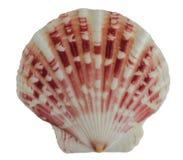 Forma incomum da concha do mar imagens de stock royalty free