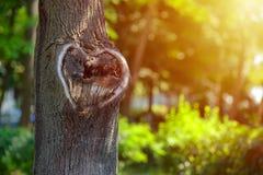 Forma natural del corazón en vieja textura de madera áspera del árbol de la grieta contra Fotos de archivo