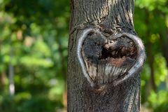 Forma natural del corazón en vieja textura de madera áspera del árbol de la grieta contra Fotos de archivo libres de regalías
