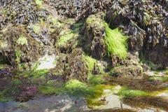 Forma peculiar del algas en costa costa de la marea baja en Francia Fotos de archivo