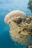 Formación coralina del coral del fuego de la frambuesa prístina. Imagen de archivo