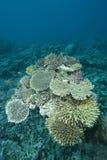Formación coralina dura prístina. Fotos de archivo libres de regalías