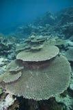 Formación coralina dura prístina. Fotos de archivo