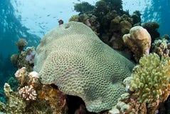 Formación coralina dura prístina en un filón tropical. Foto de archivo