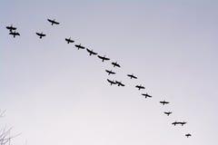 Formación de gran carbón del Phalacrocorax de los cormoranes en vuelo - Imagen de archivo