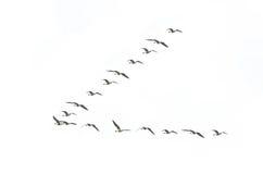 Formación de los gansos de la migración Fotos de archivo libres de regalías